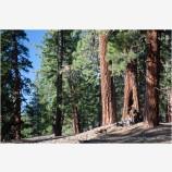 Ponderosa Pine 2 Stock Image California