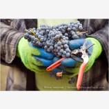 Grape Harvesting Stock Image Southern Oregon