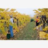 Grape Harvesting 2 Stock Image Southern Oregon