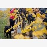 Grape Harvesting 4 Stock Image Southern Oregon