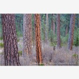 Ponderosa Pine 3 Stock Image Oregon