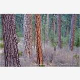 Ponderosa Pine 3 Stock Image Oregon