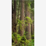 Ancient Architecture Panorama Stock Image, Redwood NP, California