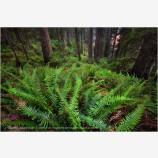 Twilight Grove Stock Image, Redwood NP, California