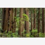 Timberland Stock Image, Redwood NP, California