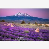 Shasta Lavender Stock Image, Shasta Valley, California