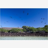 Frigate Bird Rookery Stock Image, Baja, Mexico