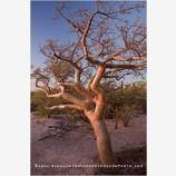 Elephant Tree Stock Image, Baja, Mexico