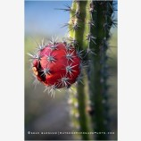 Cactus Fruit Stock Image, Baja, Mexico