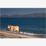 Cow On The Beach Stock Image, Baja, Mexico