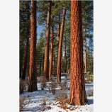 Ponderosa Pine 4 Stock Image, Oregon
