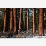 Ponderosa Pine 5 Stock Image, Oregon