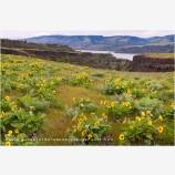Columbia Wildflowers 4 Stock Image, Oregon