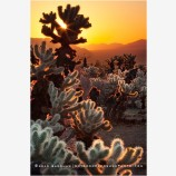 Cholla Sunrise Stock Image, Joshua Tree, California