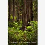 Deep Wood Stock Image, Redwood National Park, California