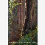 Redwood Grove 4, California