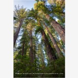 Redwood Grove 5, California