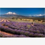 Shasta Valley Lavender Farm 1, California