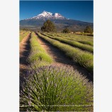Shasta Valley Lavender Farm 2, California