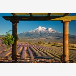 Shasta Valley Lavender Farm 6, California