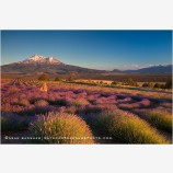 Shasta Valley Lavender Farm 3, California