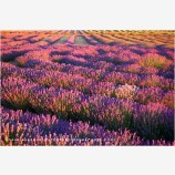 Shasta Valley Lavender Farm 5, California
