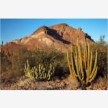 Cardon Cactus, Mexico