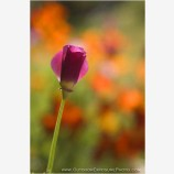 Poppy Bud Stock Image