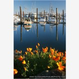 Harbor Poppies Stock Image