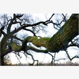 Cosumnes Oak Stock Image, Cosumnes River Wildlife Preserve, California