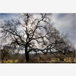 Old Oak Stock Image, Cosumnes River Wildlife Preserve, California