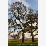 Tall Oak Stock Image, Cosumnes River Wildlife Preserve, California