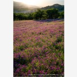 Vetch Meadow Stock Image, Ashland, Oregon