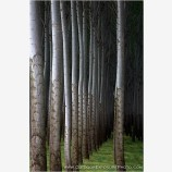 Poplars III Stock Image, Hermiston, Oregon