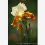 Iris Blossom Stock Image