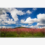 Spring Orchard Stock Image
