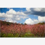 Spring Orchard II Stock Image