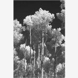 Fall Aspen Black and White Stock Image, San Juan Mountains, Colorado