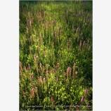 Evening Light On Summer Wildflowers Stock Image, Howard Prairie, Oregon