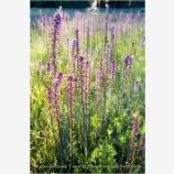 Evening Light On Summer Wildflowers II Stock Image, Howard Prairie, Oregon