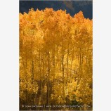 Glowing Aspen Stock Image Telluride, Colorado