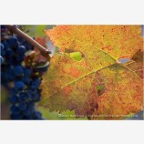 Grapes On Vine Stock Image