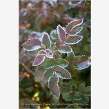 Frost Lined Leaves 1 Stock Image