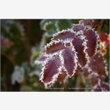 Frost Lined Leaves 2 Stock Image