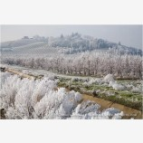 Frosty Vineyard 3 Stock Image Rogue Valley, Oregon