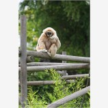 Gibbon 1 Stock Image