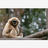 Gibbon 2 Stock Image
