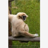 Gibbon 3 Stock Image