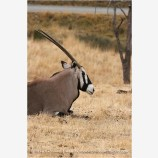 Gemsbok 1 Stock Image