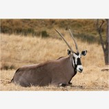 Gemsbok 2 Stock Image